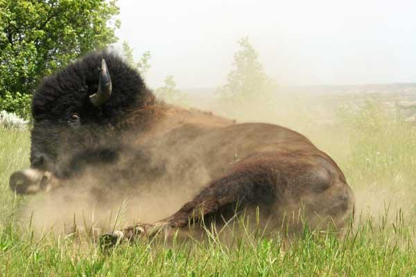 buffalo theodore roosevelt national park